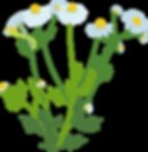 chamomile 20%.png