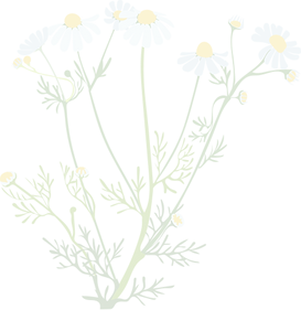 chamomile 20%.png