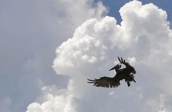 Harvey Brown Pelican in Air - John Harvey.jpg