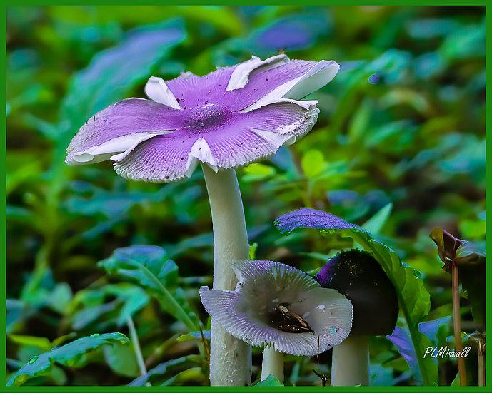 Mini-mushroom - Paul Missall