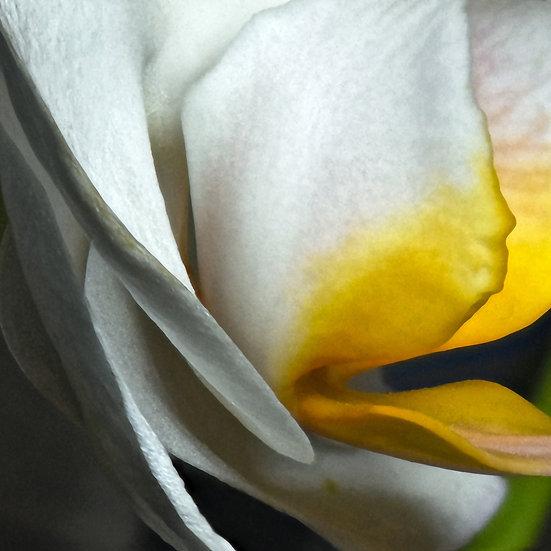 Orchid Study 1 - Douglas Dankell II