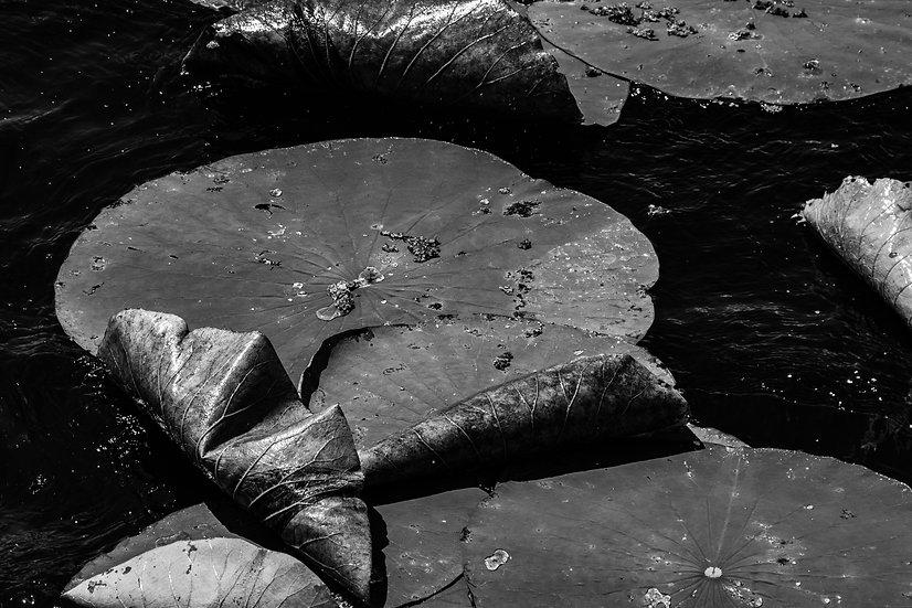Lotus Folds - Michelle Nagri