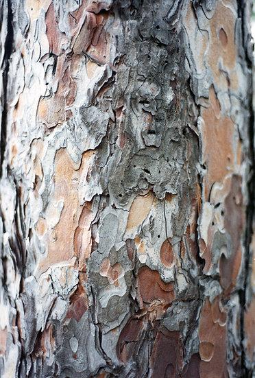 Old White Pine - Greg Lindeblom