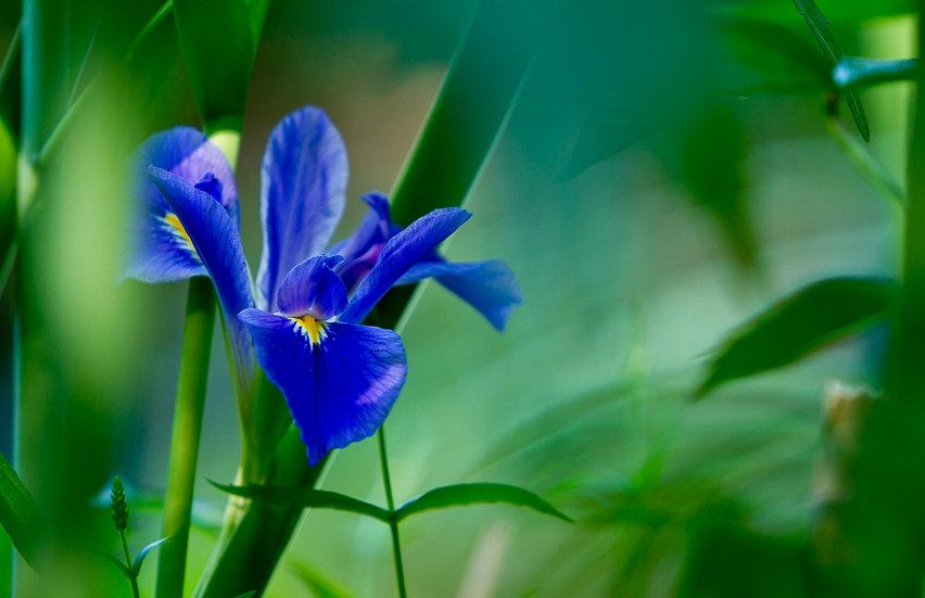 Blue Flag Iris - Wes Lindberg