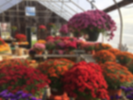 The interior of Wallingford's greenhouse in fall, containing hanging plants, mums, and pumpkins