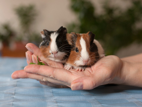 Are Baby Guinea Pigs Really That Cute?