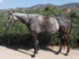 Oz - 16.1h 4yo Thoroughbred for sale