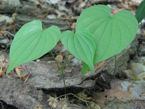 Wild Yam (Dioscorea villosa) - 2 oz.