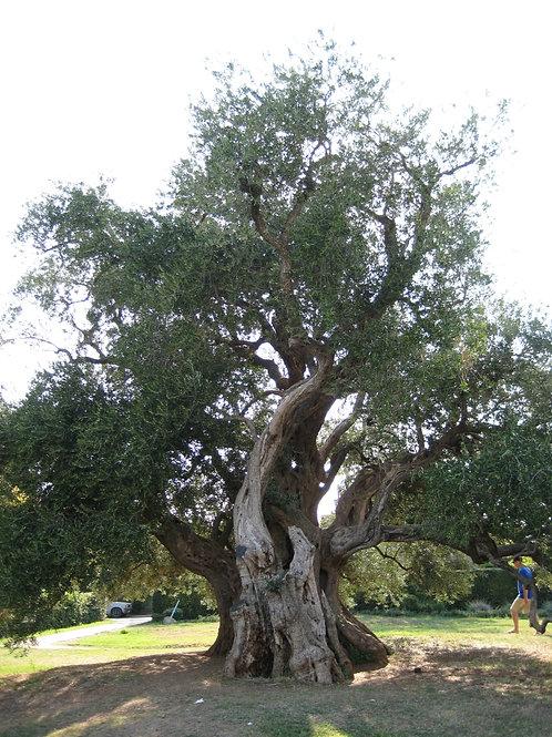 Olive Leaf (Olea europaea) - 2 oz.