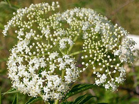 Elderflower (Sambucus nigra) - 2 oz.