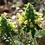 Thumbnail: Wood Betony (Pedicularis canadensis) - 2 oz.