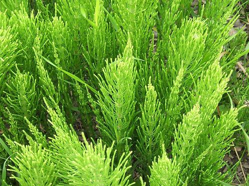 Horsetail/Shavegrass (Equisetum arvense) - 2 oz.