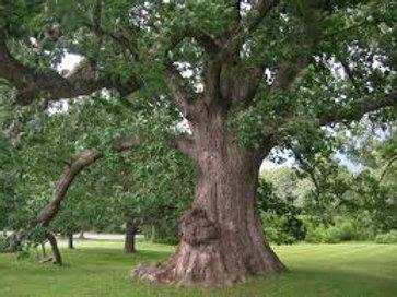 White Oak Bark (Quercus alba) - 2 oz.