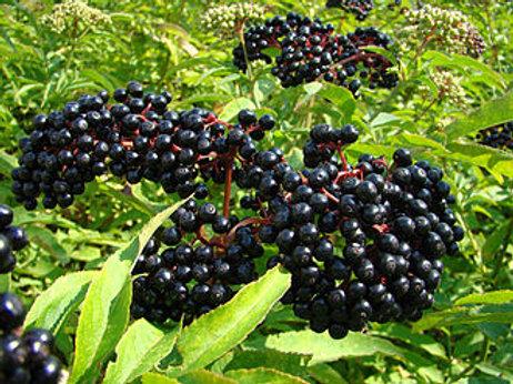 Elderberries (Sambucus nigra) - 2 oz.