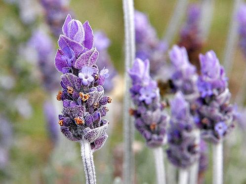 Lavender (Lavendula angustifolia) - 2 oz