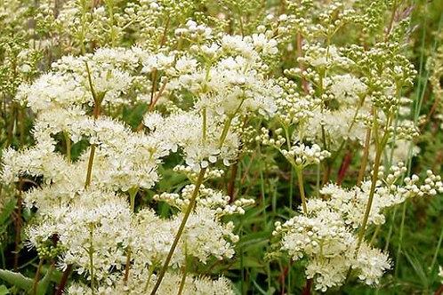 Meadowsweet (Filipendula ulmaria) - 2 oz.