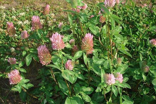 Red Clover (Trifolium pratense) - 2 oz.
