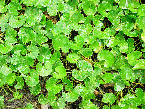 Gotu Kola (Centella asiatica) - 2 oz.
