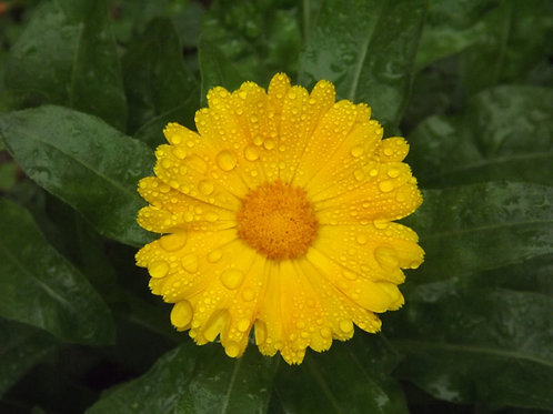 Calendula Flowers (Calendula officinalis) - 2 oz.
