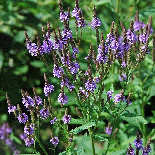 Blue Vervain (Verbana officinalis) - 2 oz.