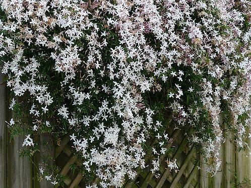 Jasmine Flower (Jasminum officinale) - 2 oz.