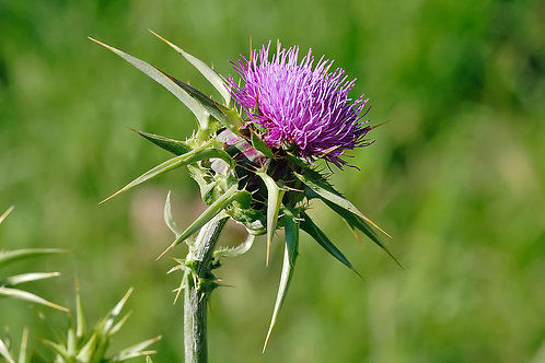 Milk Thistle Seed (Silybum marianum) - 2 oz.