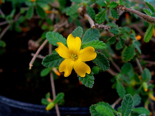 Damiana (Turnera diffusa) - 2 oz.
