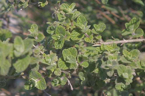 Oregano (Origanum vulgare) - 2 oz.