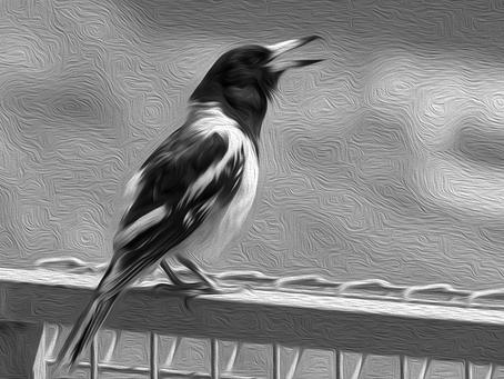 Coronach with pied butcherbird