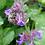 Thumbnail: Echte Katzenminze (Nepeta cataria)