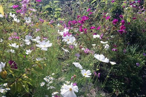 Cosmea (Cosmos bipinnatus) - Mischung