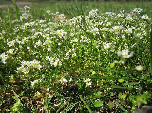 Frühlings-Hungerblümchen (Draba Verna)