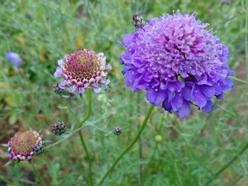 Blaue Garten-Skabiose (Skabiosa Atropurpurea)