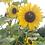 Thumbnail: Gewöhnliche Sonnenblume