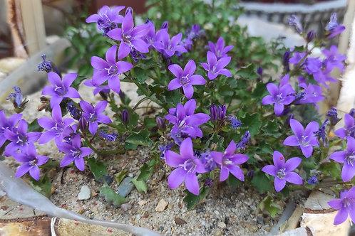 Zwerg-Glockenblume (Campanula cochleariifolia)