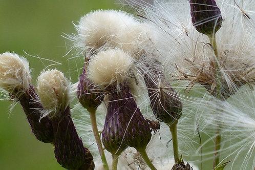 Färber-Scharte (Serratula Tinctoria)