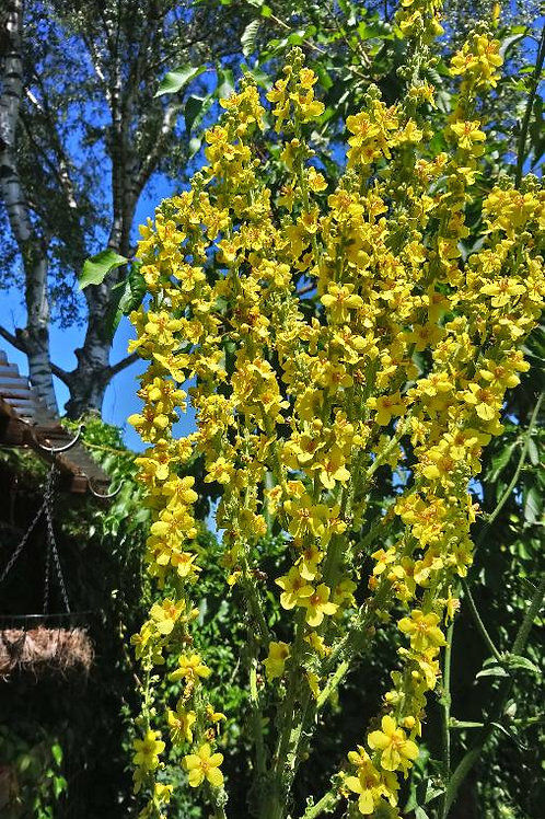Pracht-Königskerze (Verbascum speciosum)
