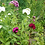 Thumbnail: Bartnelke (Dianthus barbatus) - Mischung