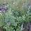 Thumbnail: Mehrjährige Wildblumenmischung für 5 m2 - trockener Standort