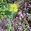 Thumbnail: Rundblättriges Hasenohr (Bupleurum rotundifolium) - Selten!