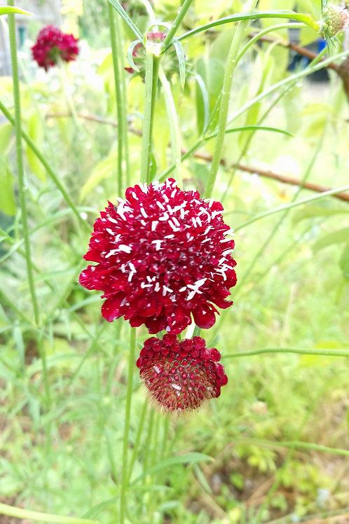Rote Garten-Skabiose (Skabiosa Atropurpurea)