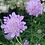 Thumbnail: Taubenskabiose (Scabiosa columbaria)