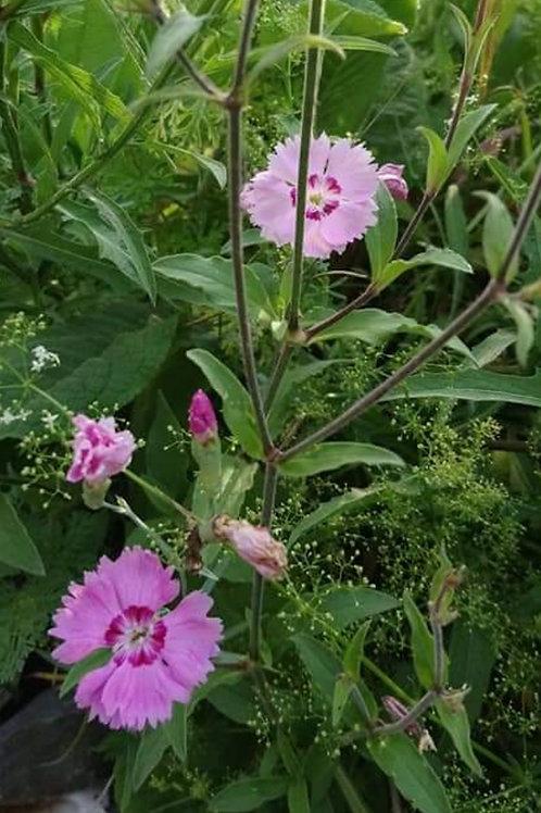 Feder-Nelke (Dianthus plumarius)