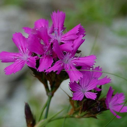 Karthäusernelke (Dianthus carthusianorum)
