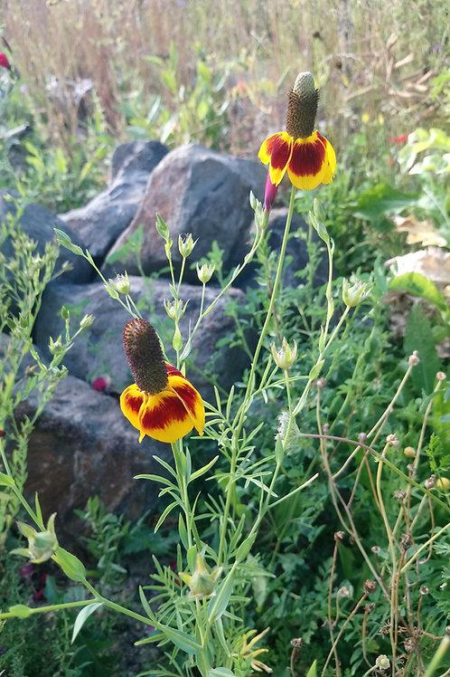 Prärie-Zapfenblume (Ratibida Columnifera)