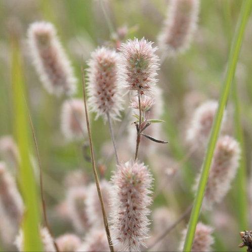 Hasenklee (Trifolium arvense)