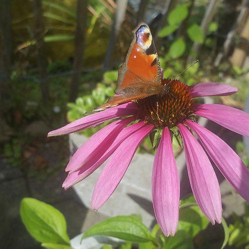 Purpur Sonnenhut (Echinacea purpurea)