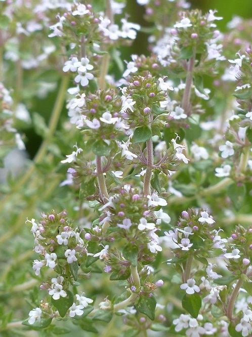 Echter Thymian / Gartenthymian (thymus vulgaris)