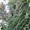 Thumbnail: Gewöhnlicher Beifuß (Artemisia vulgaris)