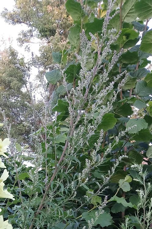 Gewöhnlicher Beifuß (Artemisia vulgaris)